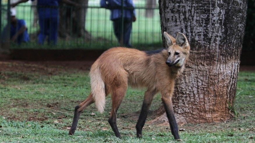 Nov. 13, 2012: A lobo-guara, also known as a maned wolf, walks in the Jardim Zoo in Brasilia, Brazil. Brazilian researchers are turning to cloning to help fight the perilous decline of several animal species.