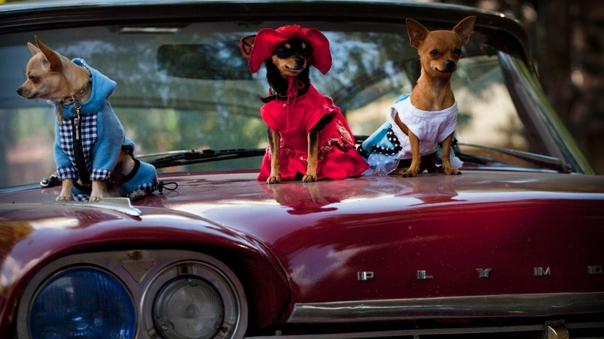 Nov. 25, 2012 Chihuahua dogs in costume, from left, Petite, Legrand and Lentille, at the Fall Canine Expo in Havana, Cuba.