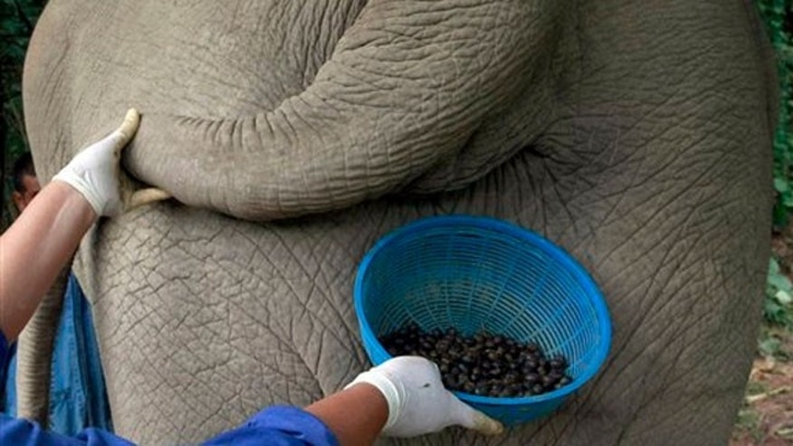 Dec. 4, 2012:  A Thai mahout's wife jokingly poses with a plastic basket containing coffee beans freshly cleaned from elephant dung below the tail of an elephant.