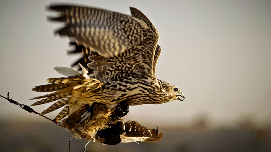 In this Thursday, Nov. 15, 2012 photo, a falcon catches a pigeon body during a training session on the outskirts of Dubai, United Arab Emirates. While the methods to develop top-quality hunting falcons date back to antiquity, its transition into a modern Middle Eastern passion has brought in microchip tagging and price tags that can run well over $10,000 for a prime bird.(AP Photo/Kamran Jebreili)
