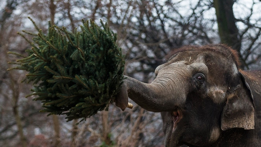 Jan. 4, 2013 - An elephant  holds a Christmas tree at the Berlin Zoo.