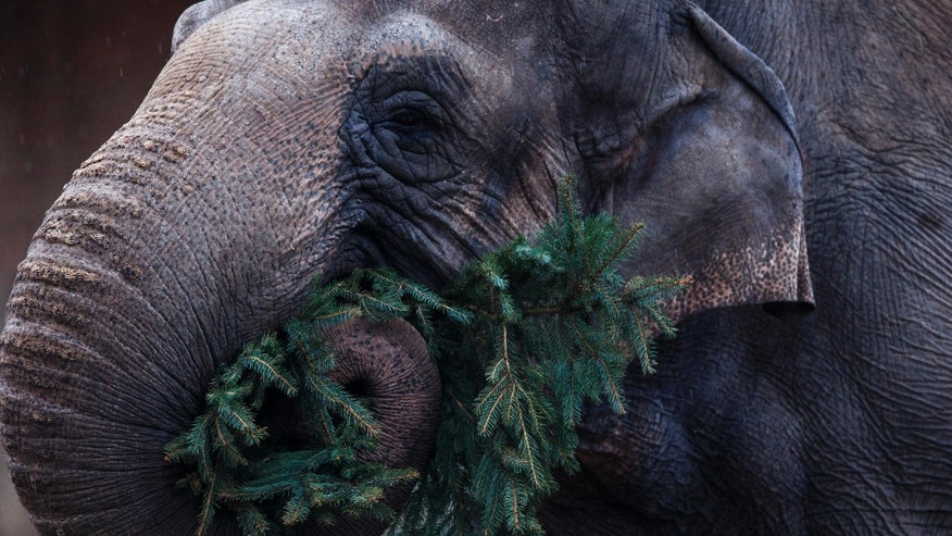 Jan. 4, 2013 - An elephant eats a Christmas tree at the Berlin Zoo.