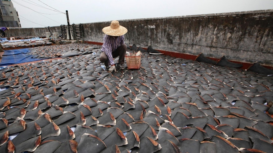 Jan. 3, 2013 - A worker collects pieces of shark fins dried on the rooftop of a factory building in Hong Kong.