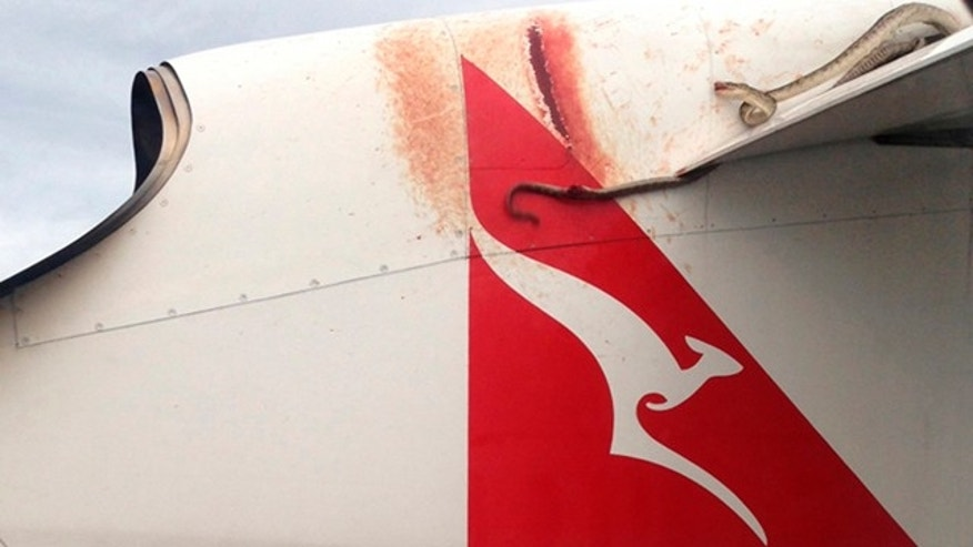 January 10, 2013: A python lies wedged on the wing of a Qantas passenger plan as it flies over Port Mores.