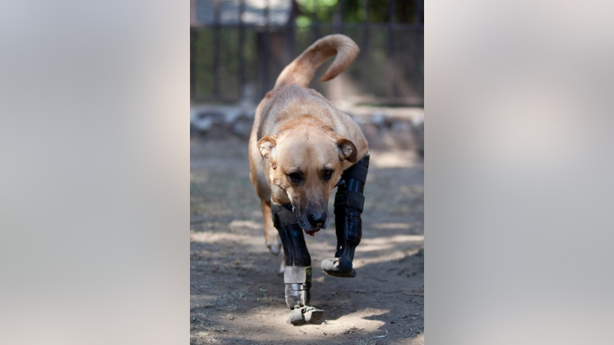 "Belgian shepherd mix, Pay de Limon or Lemon Pie, walks using his prosthetic front legs on the grounds of the ""Milagros Caninos,"" sanctuary for abused and abandoned dogs, in Mexico City, Friday, Jan. 11, 2013. Sanctuary owner Patricia Ruiz says Pay de Limon, who was fitted with prosthetic front legs last year, was found last February in a trash can where he was left to die after his two fronts legs were surgically removed. Pay de Limon is one of 128 abused dogs living in the vast Milagros Caninos sanctuary in southern Mexico City. (AP Photo/Eduardo Verdugo)"
