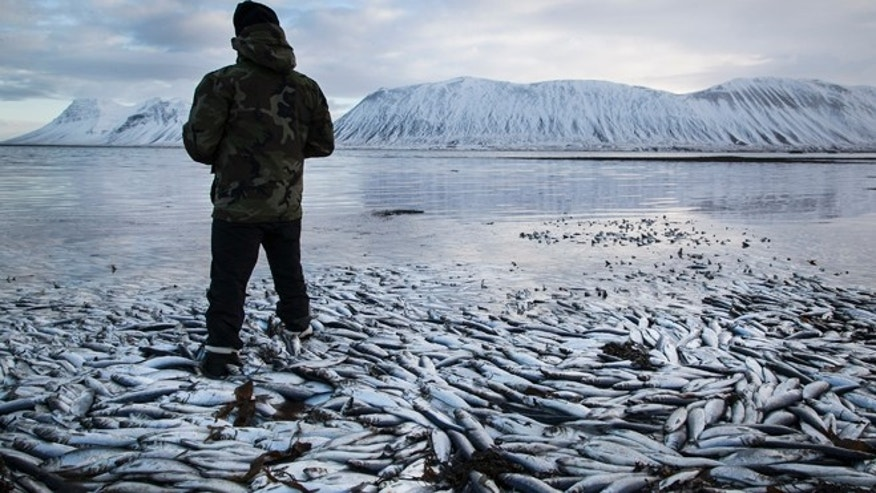 Feb. 5 2013: Herring worth  billions in exports are seen floating dead in Kolgrafafjordur, a small fjord on the northern part of Snaefellsnes peninsula, west Iceland, for the second time in two months.