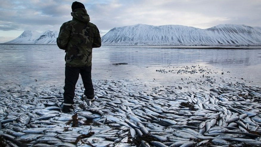 Feb. 5, 2013: Herring worth  billions in exports are seen floating dead in Kolgrafafjordur, a small fjord on the northern part of Snaefellsnes peninsula, west Iceland, for the second time in two months.