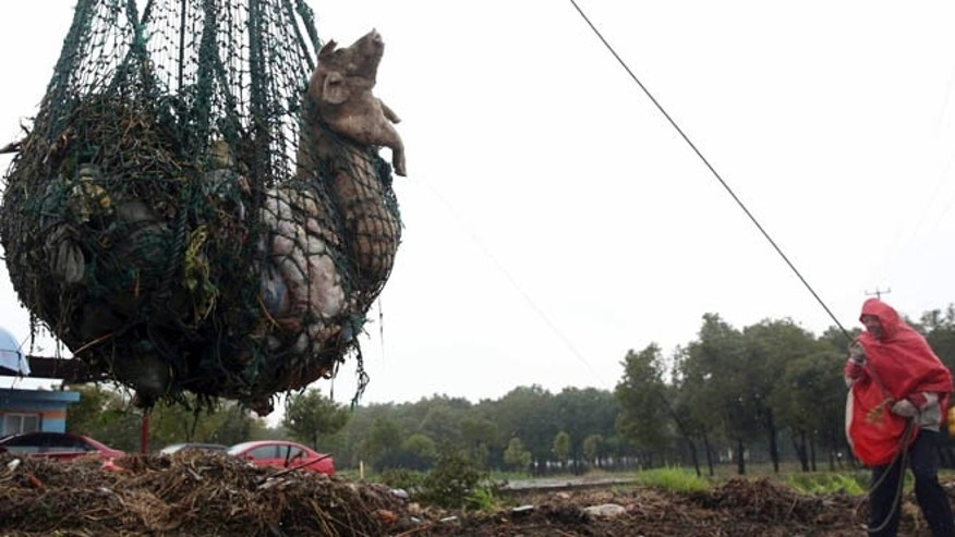 March 13, 2013: A worker hauls away dead pigs with a net in Zhonglian village of Jinshan district in Shanghai. The number of dead pigs found floating in a river flowing into Shanghai has reached nearly 6,000. The Shanghai municipal government said in an online announcement that 5,916 swine carcasses had been retrieved from Huangpu River, but added that municipal water remains safe.