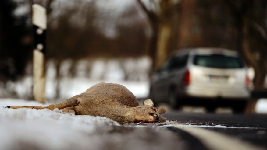HERBSTEIN, GERMANY - FEBRUARY 11:  A dead deer lies on the side of a highway after being struck by a car on February 11, 2013 near Herbstein, Germany. Though no precise numbers are available, forestry officials estimate the number of deer and other wild animals, including boars and wolves, have risen significantly in Germany in the last decades.  (Photo by Thomas Lohnes/Getty Images)