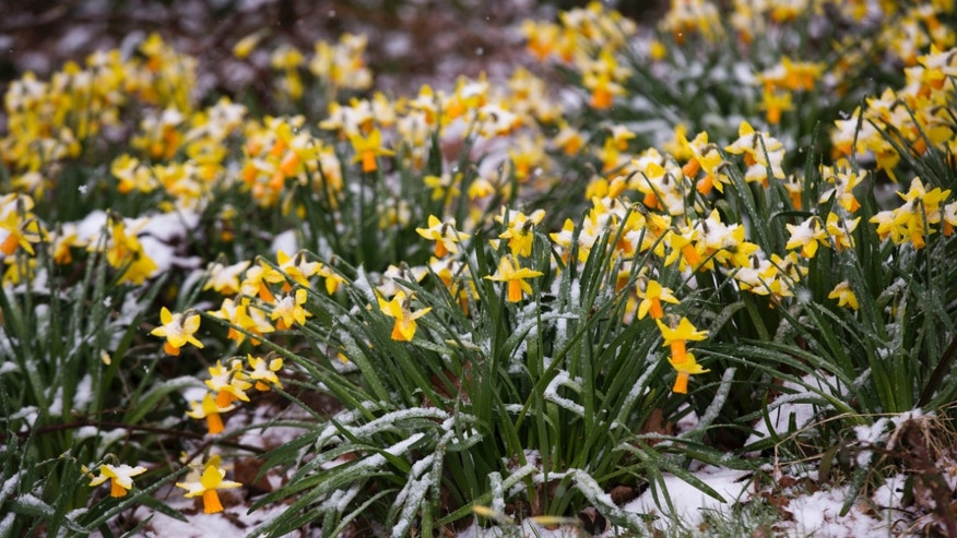 Snow settles on Daffodils on Hampstead Heath in London, Thursday, April 4, 2013. It is unusual for snow to fall on London in April, with Britain's Met Office saying that March's temperatures ranked as the joint second coldest (with 1947), for the month, in their records dating back to 1910. Only March 1962 was colder. (AP Photo/Matt Dunham)