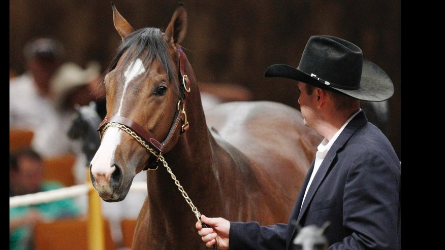 A Dash of Sweet Heat is led into the sales ring by an unnamed Heritage Place employee during the fall mixed sale in Oklahoma City. Prosecutors in Texas say Jose Trevino Morales, a brother of two top leaders of Los Zetas, oversaw the purchase of hundreds of quarter horses at a ranch in Oklahoma.