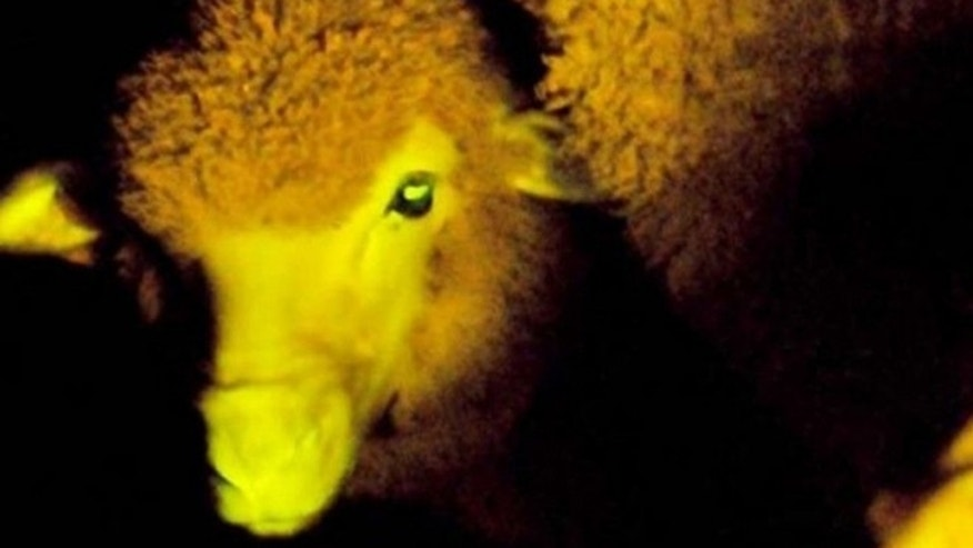 Scientists at the Animal Reproduction Institute of Uruguay used the fluorescent protein from an Aequarea jelly fish to give sheep a distinct glowing green color when exposed to certain ultraviolet light.