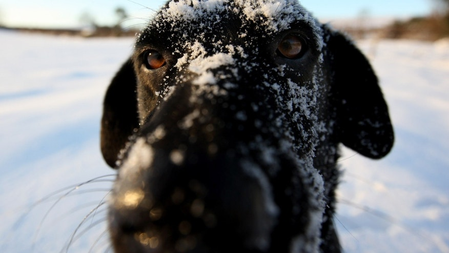 HAY-ON-WYE, UNITED KINGDOM - JANUARY 07:  Tazzy the Labrador looks on in the snow on the Begwyns Hills on January 7, 2010 in Hay-On-Wye, United Kingdom.  The MET office confirmed that the Christmas period has been the coldest for 25 years with temperatures as low as -17C being recorded. Snow and ice continue to cause problems across the UK with many roads and schools remaining closed, and forecasters warning temperatures could plunge as low as -20C overnight.  (Photo by Stu Forster/Getty Images)