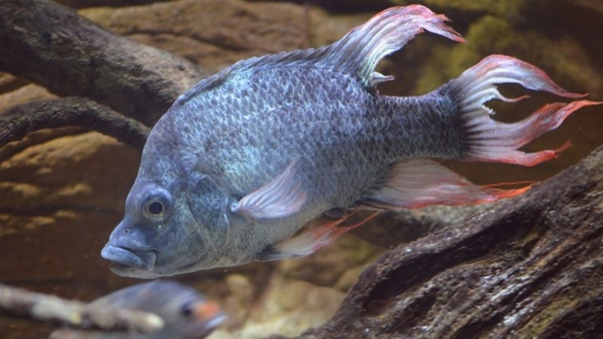 This is an undated image made available by the Zoological Society of London (ZSL) of a male Mangarahara cichlid.