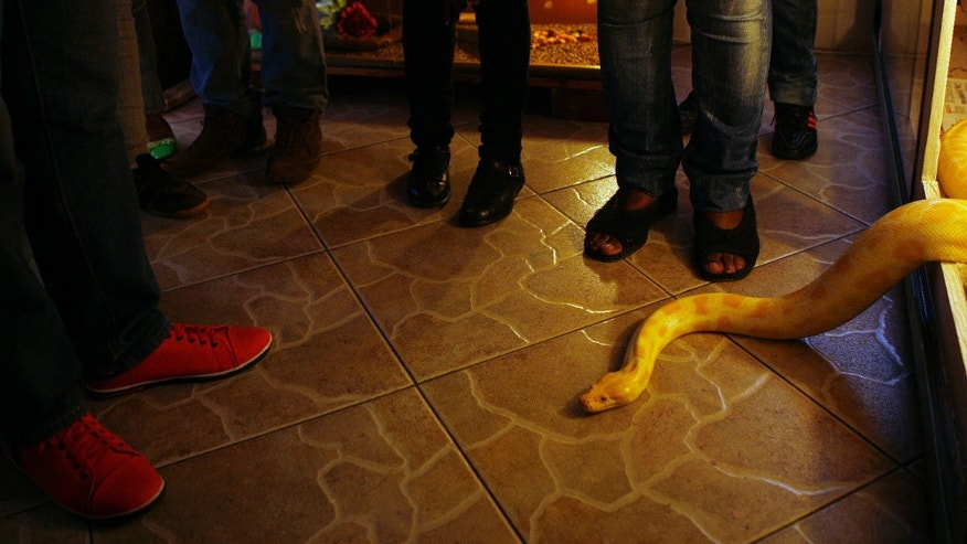 In this photo taken Thursday May 23, 2013, an albino python slithers out of its cage at the feet of visitors at the home in Soweto, South Africa, of Lindiwe Mngomezulu, and her daughter Nolwandle Duma, unseen. Tourists have long flocked to the home-turned-museum of former President Nelson Mandela on Vilakazi Street, a lively strip of restaurants, curio sellers and street performers in the South African township of Soweto. Now the area has a growing attraction: big snakes, and lots of them.  For a small fee the mother and daughter team show off their collection of snakes that they collect and for a small fee visitors are welcomed to view and interact with them. (AP Photo/Themba Hadebe)