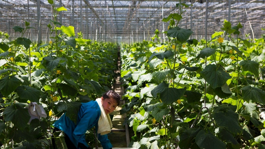 In this Wednesday, May 22, 2013 photo, a North Korean woman works in a vegetable greenhouse on the outskirts of Pyongyang. Farmers in North Korea have confirmed that they have begun carrying out new economic policies designed to boost productivity by giving managers and workers financial incentives. Some foreign analysts say the moves are reminiscent of early reform in China in the late 1970s. (AP Photo/David Guttenfelder)