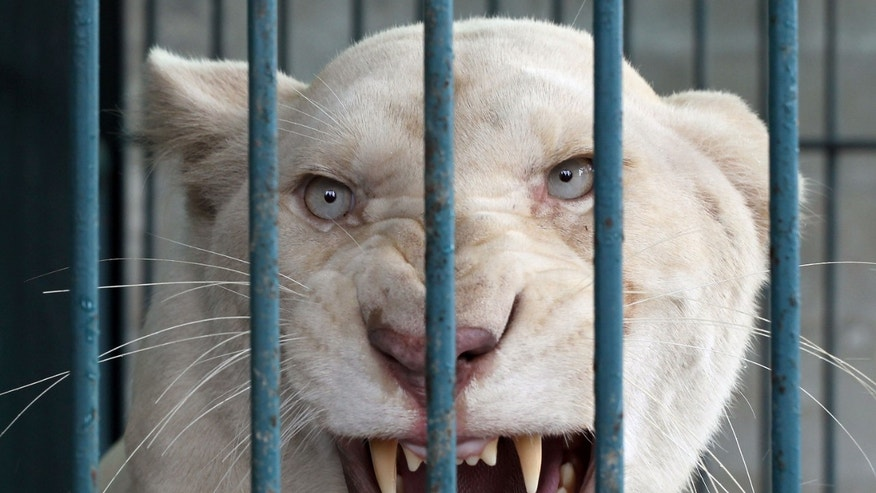 June 10, 2013 - A lioness bares its teeth inside an enclosure after a raid at a zoo-like house on the outskirts of Bangkok, Thailand.