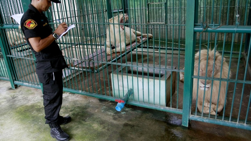 June 10, 2013 - A Thai forestry official takes a note as he examines lions in the enclosure at a zoo-like house on the outskirts of Bangkok, Thailand.