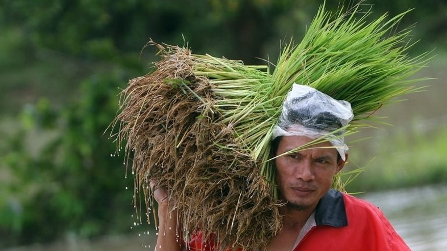 A Thai farmer carries rice for planting in Yala province on November 21, 2009. Thailand says it will slash the price paid to rice farmers under a controversial scheme that caused the kingdom to lose its place as the world's top exporter of the commodity last year.