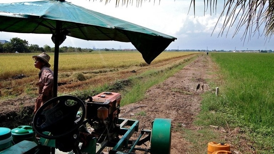 A Thai farmer works in rice fields in Pathum Thani province, on January 7, 2010. Thailand says it will slash the price paid to rice farmers under a controversial scheme that caused the kingdom to lose its place as the world's top exporter of the commodity last year.