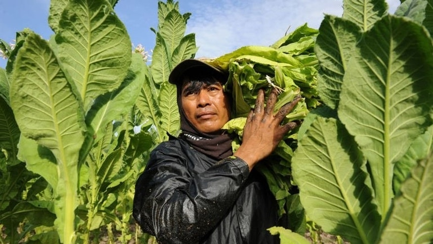 A worker carries harvested tobacco leaves at a farm in Ilocos norte province, northern Philippines on May 2, 2013. Tobacco enriches and corrupts in the dry, sun-drenched northern Philippines, where family fortunes as well as political empires are built on the golden leaf.