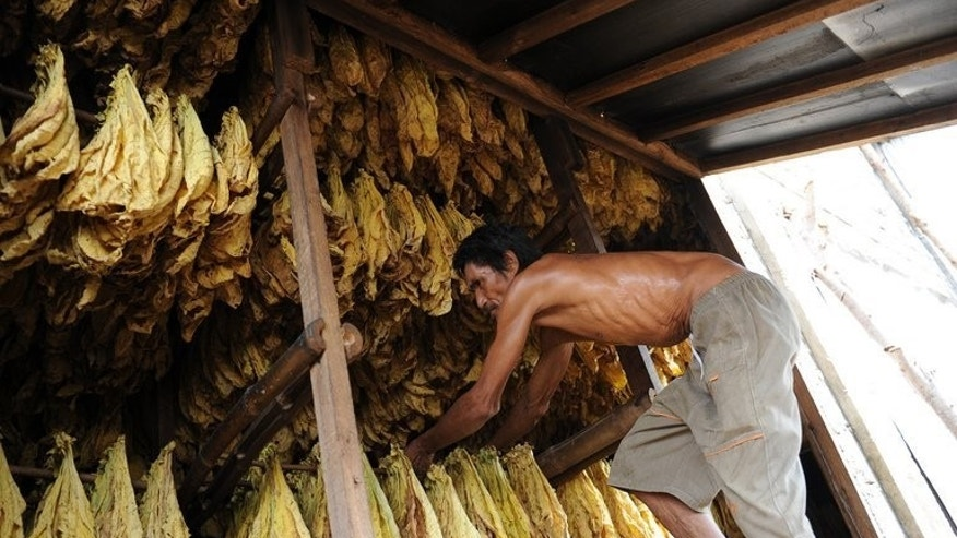 A worker prepares tobacco leaves for curing at a barn in Ilocos sur province, northern Philippines on May 3, 2013. The leaves are cured in wood-fired barns that produce their golden-yellow tinge.