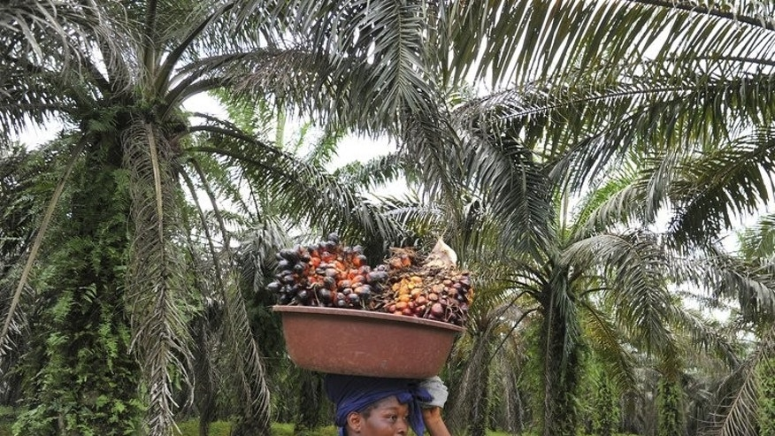 "A labourer carries freshly cut palm fruits to be used in making palm oil, at a plantation run by an Ivory Coast palm oil research centre, in Alame, near Abidjan, on June 5, 2013. African palm oil producers are hitting back at what they say is a ""smear campaign"" against them by environmentalists and health activists that risks ruining their industry."