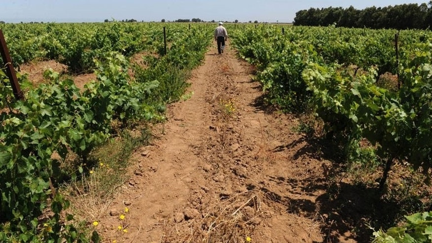 A man walking through a vineyard in the Moroccan town of Benslimane in the Casablanca region, June 12, 2013 shows a. Vines stretch to the horizon under the hot summer sun in a vineyard near Casablanca, one of the oldest in Morocco, where despite the pressures from a conservative Muslim society, wine production -- and consumption -- is flourishing.