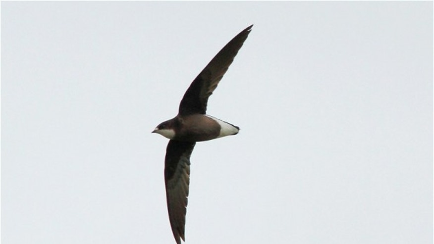 June 26, 2013 - Photo of the rare White-throated Needletail flying south of Tarbet, Harris, Outer Hebrides, Scotland, taken a few hours before it was killed flying into a wind turbine.