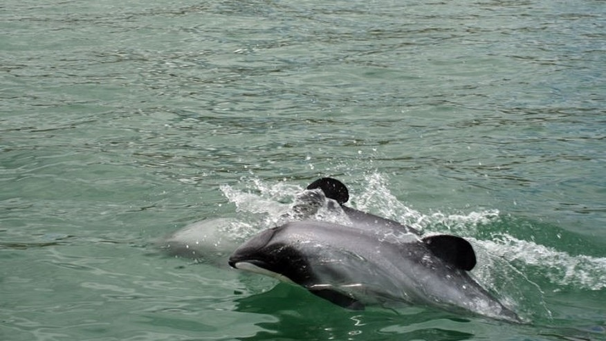 Maui's dolphins off the west coast of New Zealand's North Island on June 5, 2013. Marine scientists have urged New Zealand to immediately ban fishing in waters inhabited by the world's rarest dolphin, saying that losing even one of the creatures will threaten the species' existence.