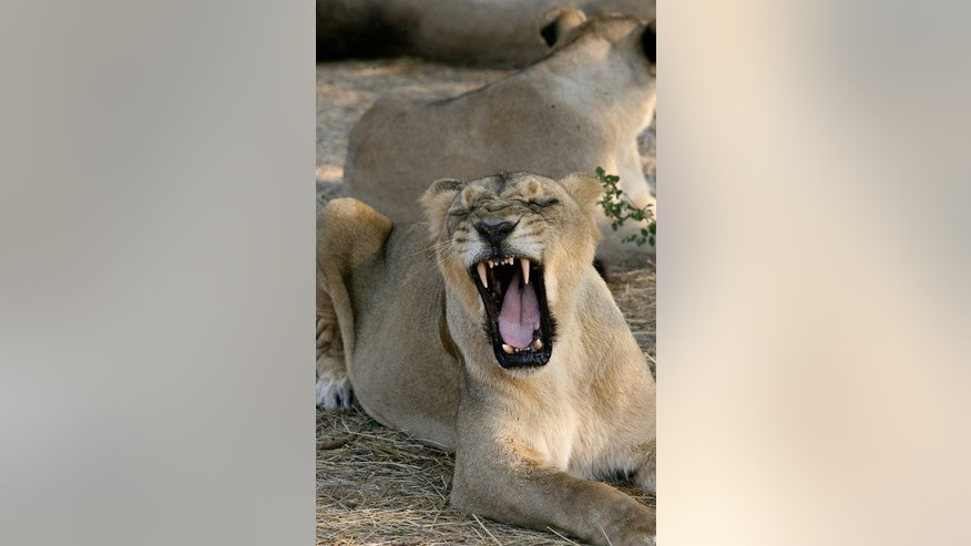 An Asiatic lion yawns in the shade of a tree near the village of Sasan on the edge of Gir National Park, some 480 kms southwest of Ahmedabad, India, on 10 December 2007. Environmentalists Tuesday slammed an Indian state's attempt to halt the relocation of some of the country's endangered lions, saying it was undermining efforts to boost their dwindling numbers.