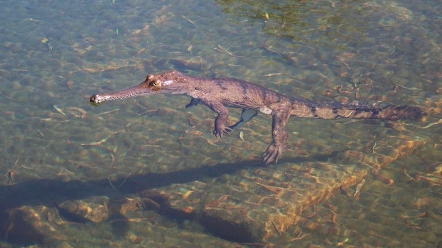 An adult male dwarf crocodile is seen in the Bullo River in Australia's Northern Territory, in this image taken by the Charles Darwin Museum in August 2006. Australia's cane toad is wiping out populations of the unique miniature crocodile, researchers warn.