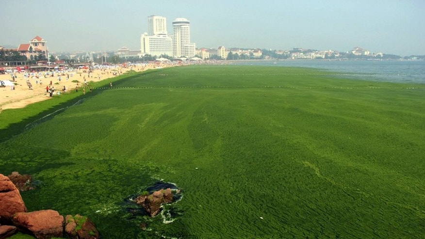 View of an algae covered public beach in Qingdao, northeast Shandong province, on July 4, 2013. The seas off China have been hit by their largest ever growth of algae, ocean officials said, with vast waves of green growth washing onto the shores of the Yellow Sea.