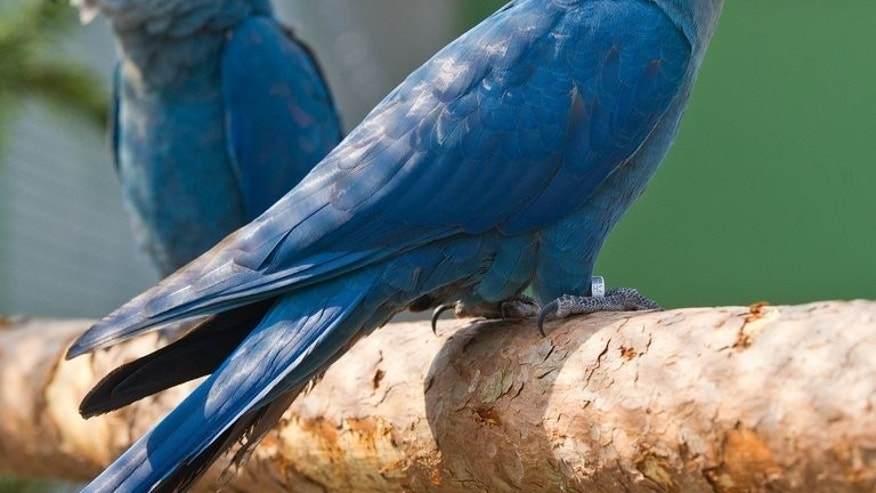 A Little Blue Macaw couple stand in their enclosure at a conservation site in Schoeneiche, eastern Germany on April 26, 2013. Rare species were found in the home of a suspected wildlife trader in one of the Philippines' biggest slums, the government said Friday. All the animals, which also included 78 Palawan hill mynahs and 12 blue-naped parrots, are protected by Philippine law.