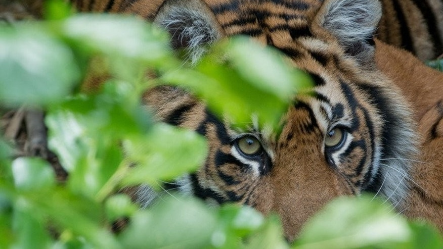 A Sumatran tiger is pictured at a zoo in Germany on June 18, 2012. A group of Indonesian men who spent four days trapped up a tree by Sumatran tigers have been rescued after wildlife experts induced the snarling creatures to leave.