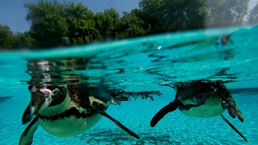 Penguins are photographed swimming in their enclosure at London Zoo on July 17, 2013. British authorities have issued a heatwave alert after the first prolonged period of high temperatures since 2006, following the coldest spring for more than 50 years.