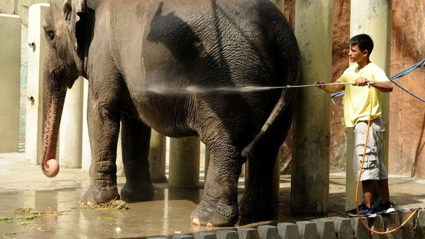 A caretaker sprays water an elephant named Mali at the Manila Zoo on June 20, 2012. The mayor of the Philippine capital on Thursday rejected calls by animal rights campaigners to transfer the country's sole elephant from Manila's rundown zoo to a Thai sanctuary.