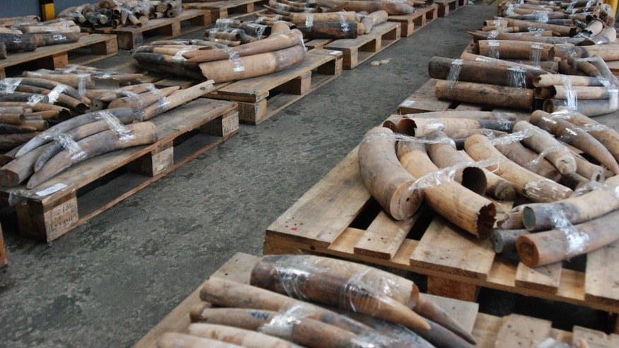 July 19, 2013 - Ivory tusks are displayed after being confiscated by Customs in Hong Kong Friday.  Customs officials said Friday they had made Hong Kong's biggest seizure of illegal ivory tusks in several years, confiscating more than two tons of elephant tusks worth an estimated $2.25 million.