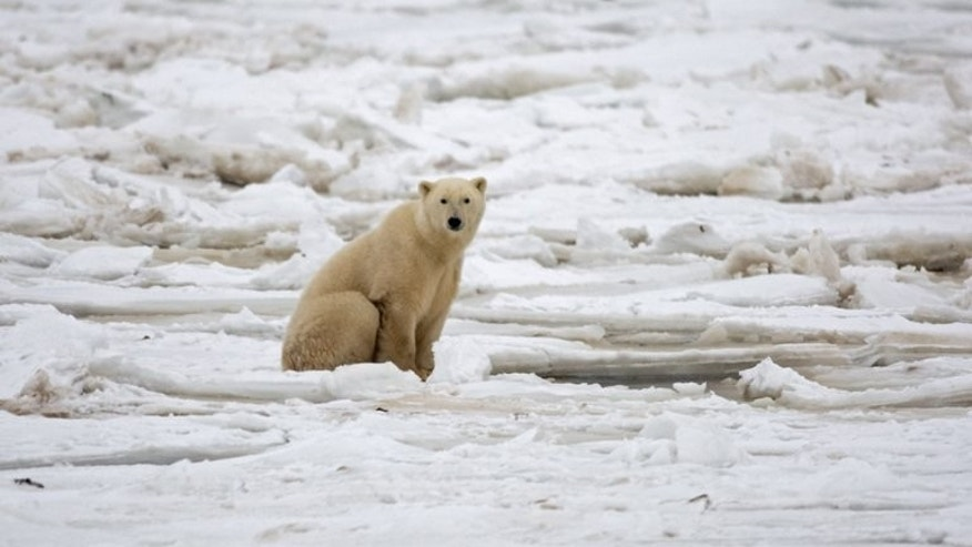 An American lawyer camping in Canada was seriously injured after being gored by a polar bear, hospital authorities said.