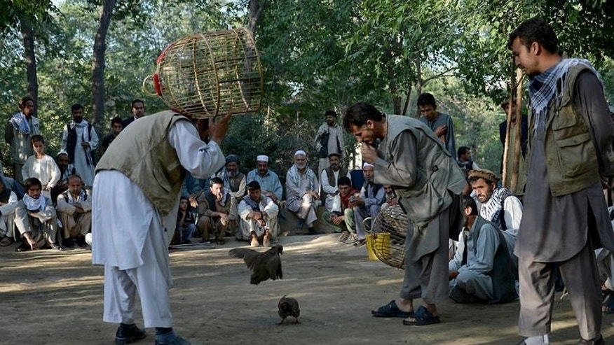 Local men watch partridge fighting at a park in Kabul, on July 5, 2013. The sun has barely risen and already dozens of men are swapping fistfuls of banknotes, frantically betting in one of the country's goriest pastimes: bird fighting.