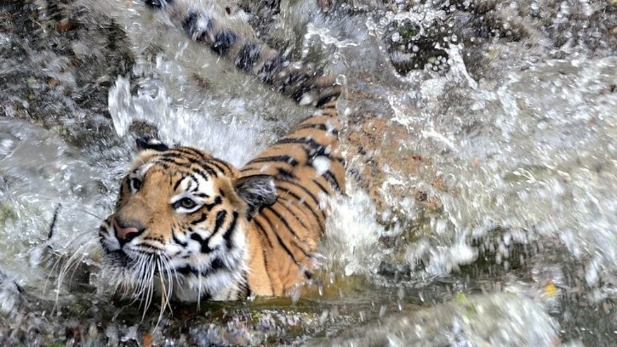 A Royal Bengal tiger splashes into a pond at the Nehru Zoological Park in Hyderabad, India on April 23, 2010. Nepal's number of Royal Bengal tigers in the wild has soared 64 percent to 198 in just four years, according to a government survey released Monday.