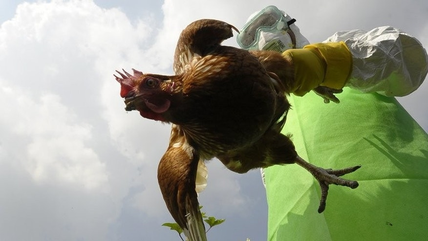 A prefectural officer carries a chicken on a poultry farm in Bode village, Kathamndu on October 15, 2012. Nepal on Thursday banned the sale of chicken after health workers found cases of bird flu at several poultry farms on the outskirts of the capital Kathmandu, officials said.