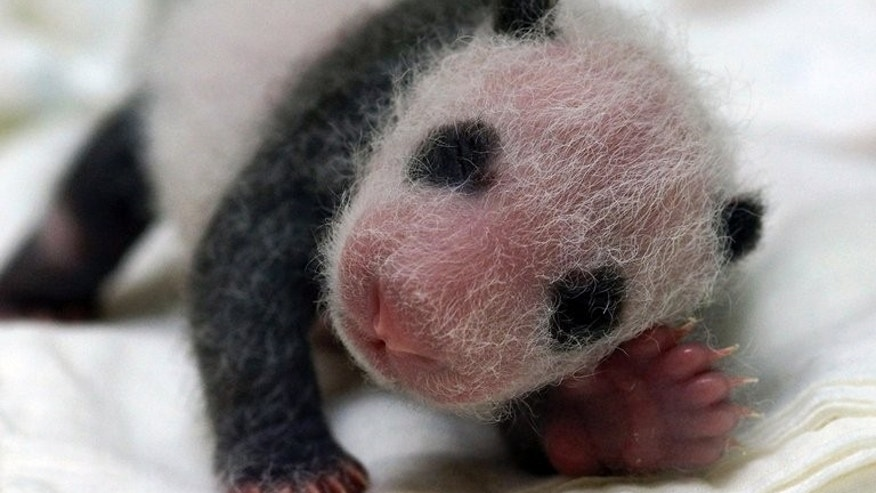 This undated handout photograph released by Taipei City Zoo on August 4, 2013 shows a recently born panda cub from giant panda Yuan Yuan in an incubator at Taipei City Zoo in Taipei. The public will have to wait three months to catch a glimpse of the first panda born in Taiwan, officials said in July, after she was successfully delivered by parents who were gifted from China.