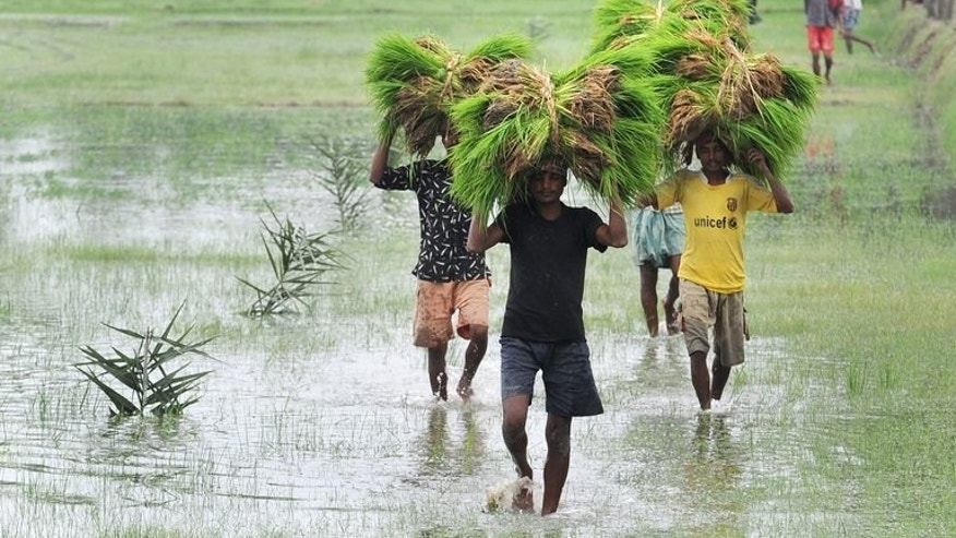 Indian farmers carry young rice plants on their heads in Canning village, south of Kolkata on July 29, 2012. Japanese biotechnologists on Sunday said they had developed a rice plant with deeper roots that can sustain high yields in droughts that wipe out conventional rice crops.