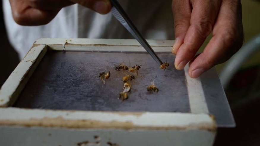 Bees are prepared by a doctor of traditional Chinese medicine at an acupuncture clinic in Beijing on August 2, 2013. Diseases ranging from arthritis to cancer are treated with the insects.