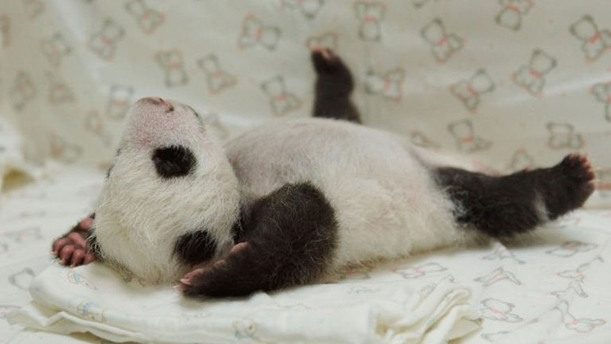 This undated handout photograph released by the Taipei City Zoo on August 11, 2013 shows the newborn panda cub Yuan Zai. Taiwan's first newborn panda has been reunited with its mother for the first time since it was taken away after birth, in a heartwarming reunion that saw the giant panda licking and cuddling her baby inside a cage.