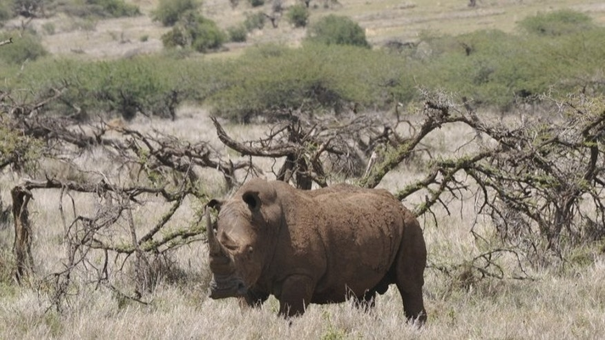 A male white rhino grazes at the Lewa Wildlife Conservancy in Kenya on November 18, 2010. Gunmen have shot dead a white rhino in Nairobi's national park, a brazen raid in one of the best guarded sites in Kenya, wildlife officials said Tuesday.