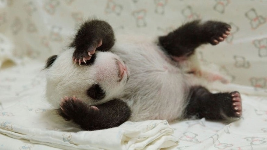 Undated photo provided by the Taipei City Zoo on August 11, 2013 shows a new-born panda cub at the zoo. The cub stayed overnight for the first time with her doting mother, zoo-keepers said Thursday.