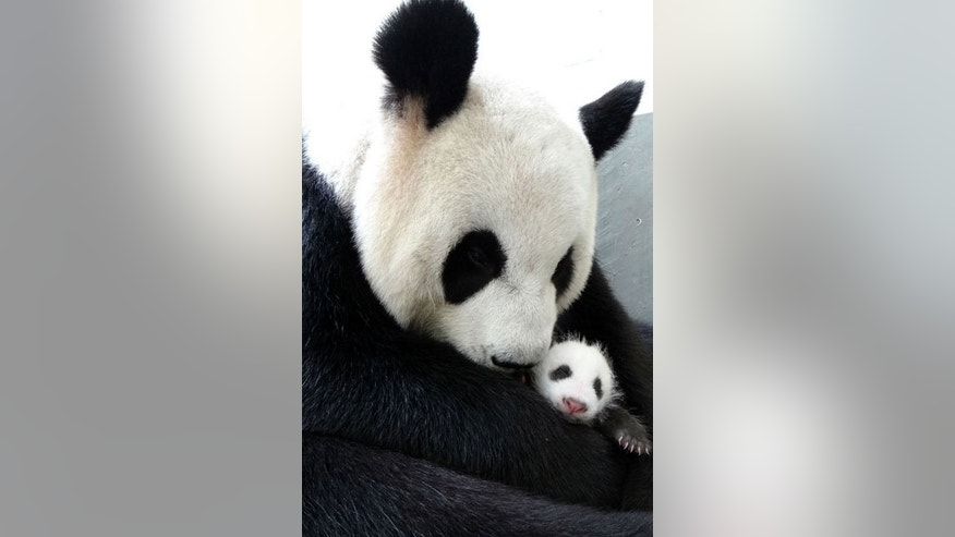 Undated photo released by the Taipei City Zoo on August 13, 2013 shows giant panda Yuan Yuan hugging her baby Yuan Zai. The weeks-old female cub was put inside Yuan Yuan's enclosure Tuesday where the mother gently picked her up, embraced and breastfed her.