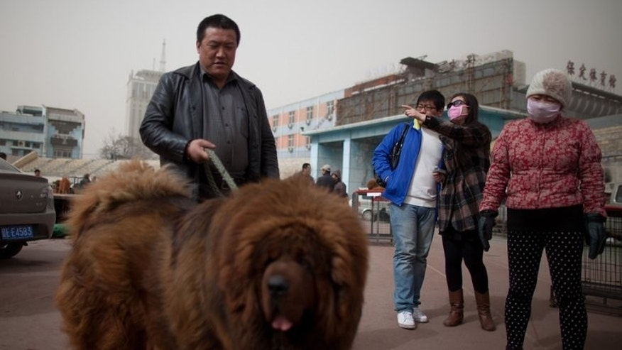 Illustration: a Tibetan mastiff on display at a mastiff show in China on March 9, 2013. One of the dogs was passed off as an African lion at a zoo in Henan province.